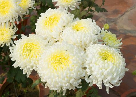chrysanthemum flower facts and meaning  november birth flower, Natural flower