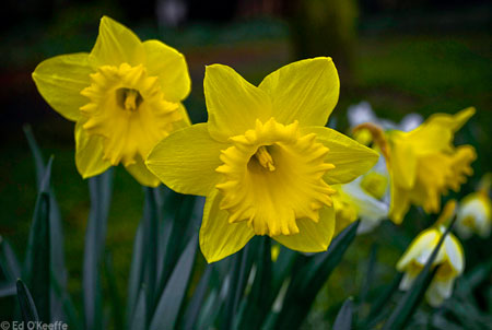 daffodil plant information  narcissus flower facts  march birth, Natural flower
