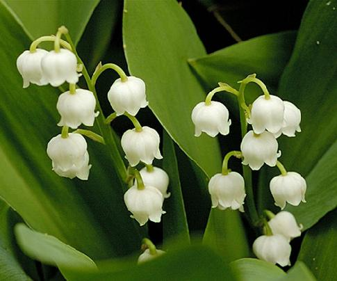 lily of the valley plant flower facts and meaning may birth flower convallaria majalis. Black Bedroom Furniture Sets. Home Design Ideas