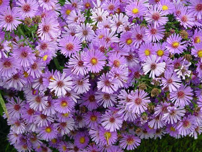 aster flower facts and meaning  september birth flower  asters, Natural flower