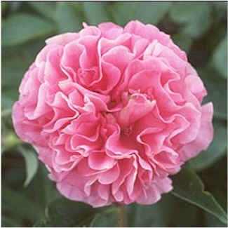 Birth flowers carnation flower facts information and meaning carnation flowers mightylinksfo