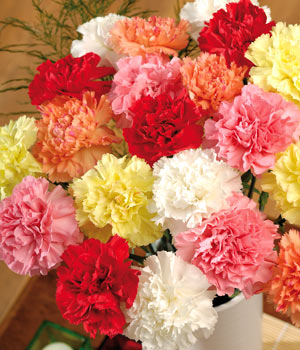 Birth flowers carnation flower facts information and meaning carnations are hardy flowers belonging to the pink family caryophyllaceae and are native to the mediteranian which have been cultivated for over two mightylinksfo