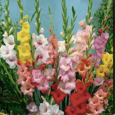 gladiolus flower facts and meaning  august birth flower, Natural flower