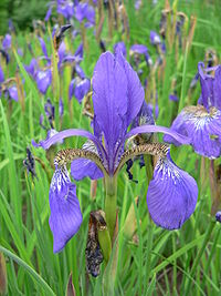 Iris Flower Facts Information And Meaning