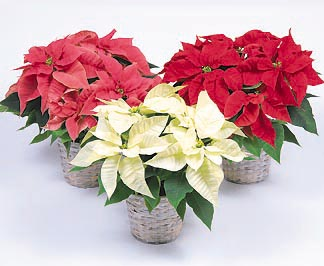 Poinsettia Flower Facts Meaning December Birth Flower